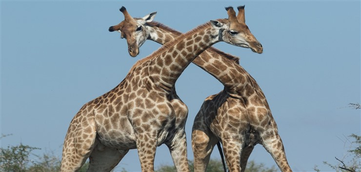 Giraffes in South Africa. Photographer Luana Bianquini